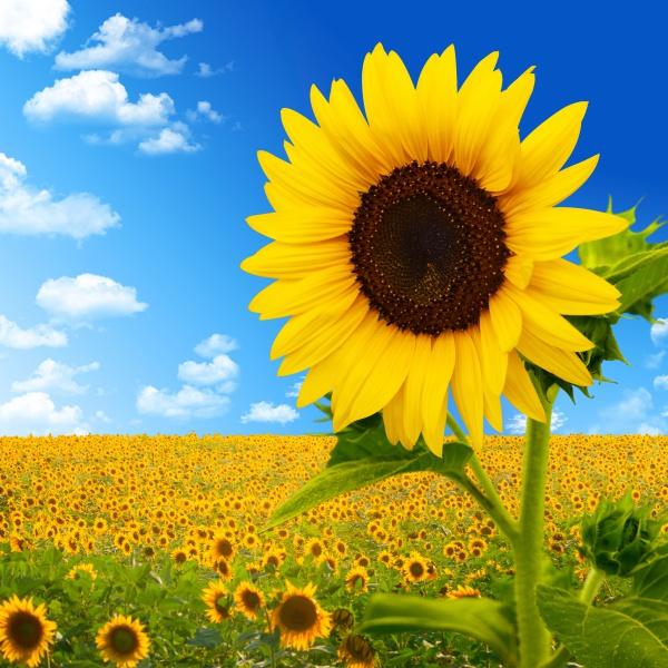Ученые объяснили механизм и предназначение поворотов подсолнечника за Солнцем