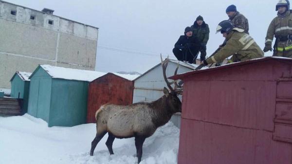 Жителей Щучинска с Новым годом пришёл поздравить олень