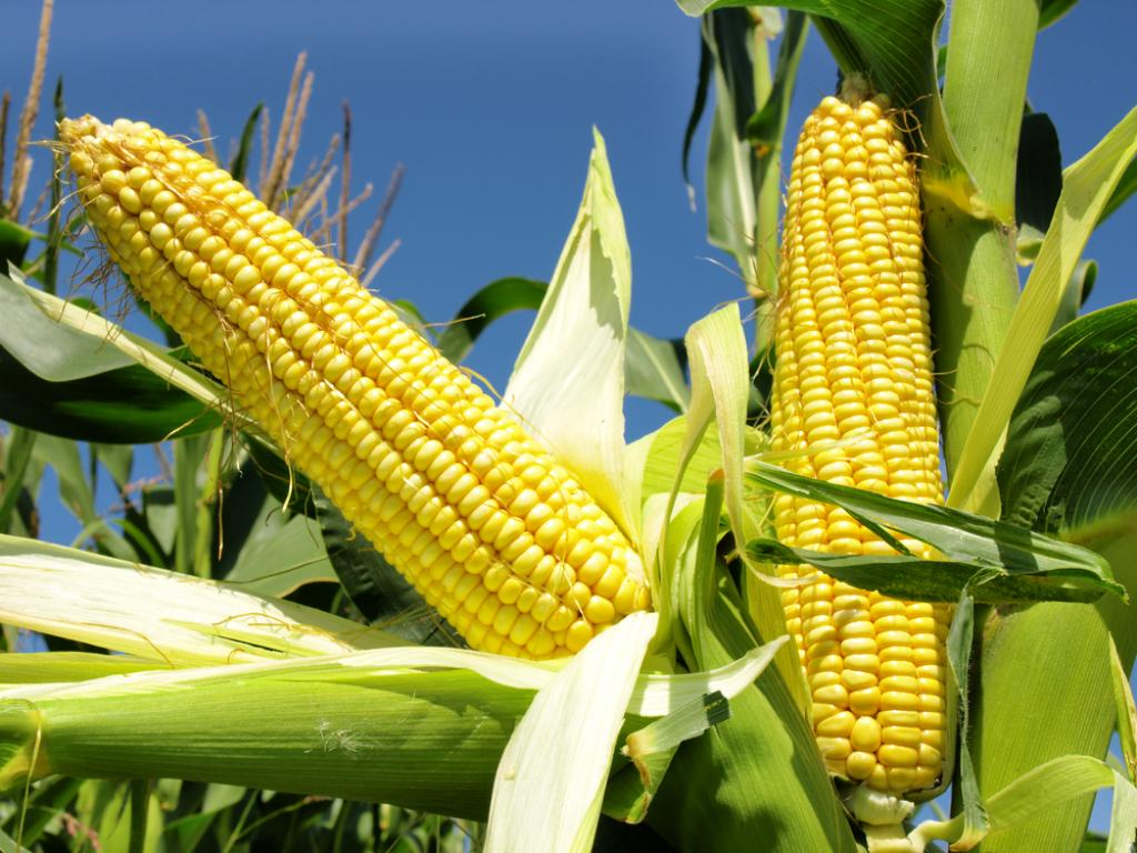 Домашняя аптечка: Кукуруза
