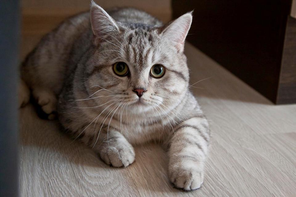 Россиянин продал кота-чародея экстрасенсу за 83 тыс. долларов
