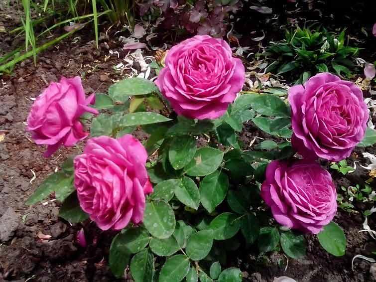 Роза — королева цветов
