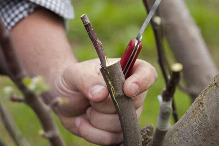 Техника заготовки черенков и прививки плодовых деревьев