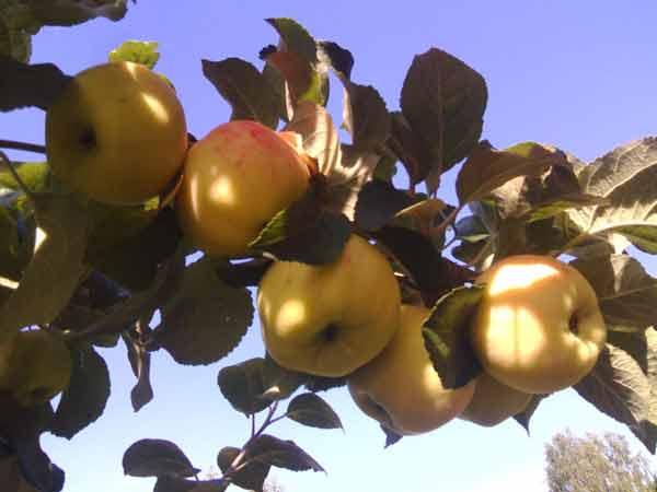 Сорта яблонь, рекомендуемые для Северного Казахстана