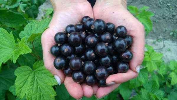 11 лечебных свойств черной смородины