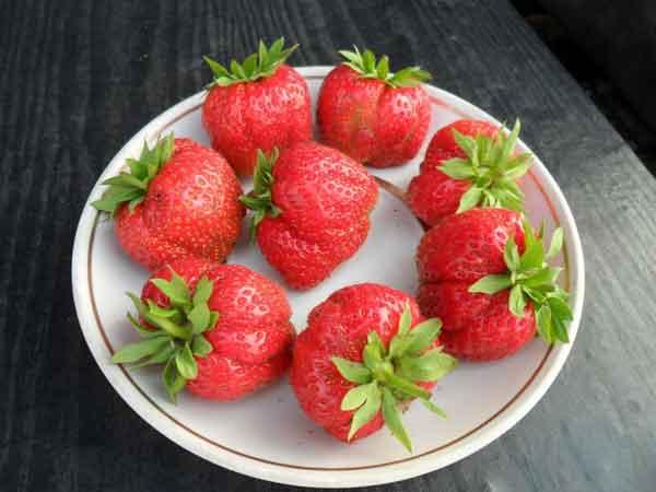 В чем причина деформации ягод садовой земляники