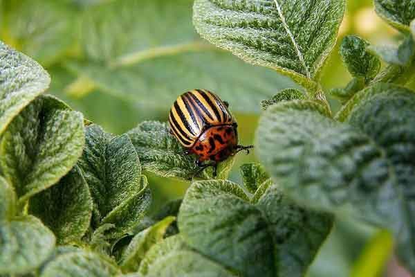 Осенние методы борьбы с колорадским жуком