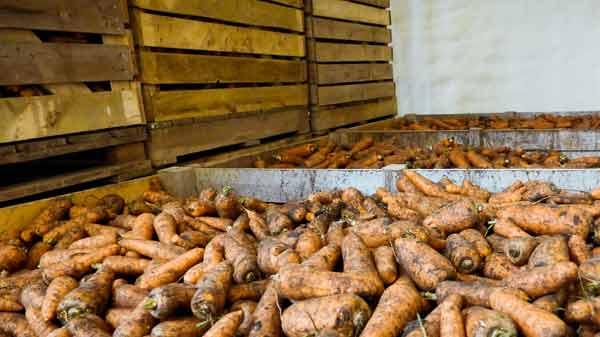 Как хранить свёклу и морковь в погребе