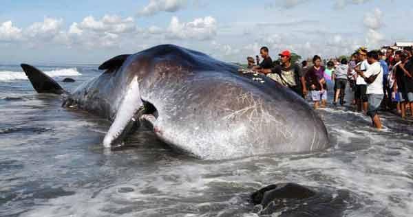 В Индонезии в теле мертвого кита обнаружили два шлепанца и 115 пластиковых стаканов