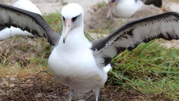 Самая старая птица в мире пережила своего исследователя и вновь отложила яйцо