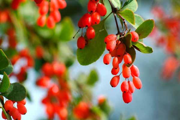 Зелёный весной, красный осенью — барбарис!