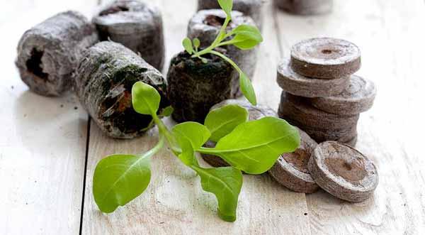 Секреты выращивания петунии из семян в торфяных таблетках